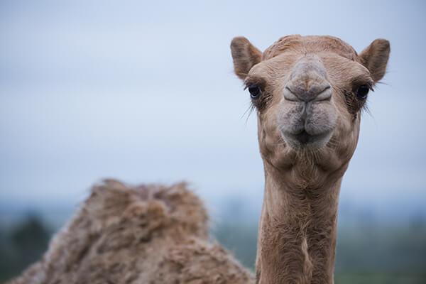 QCamel Camel Milk Resources