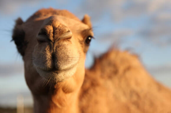 Pano The Camel